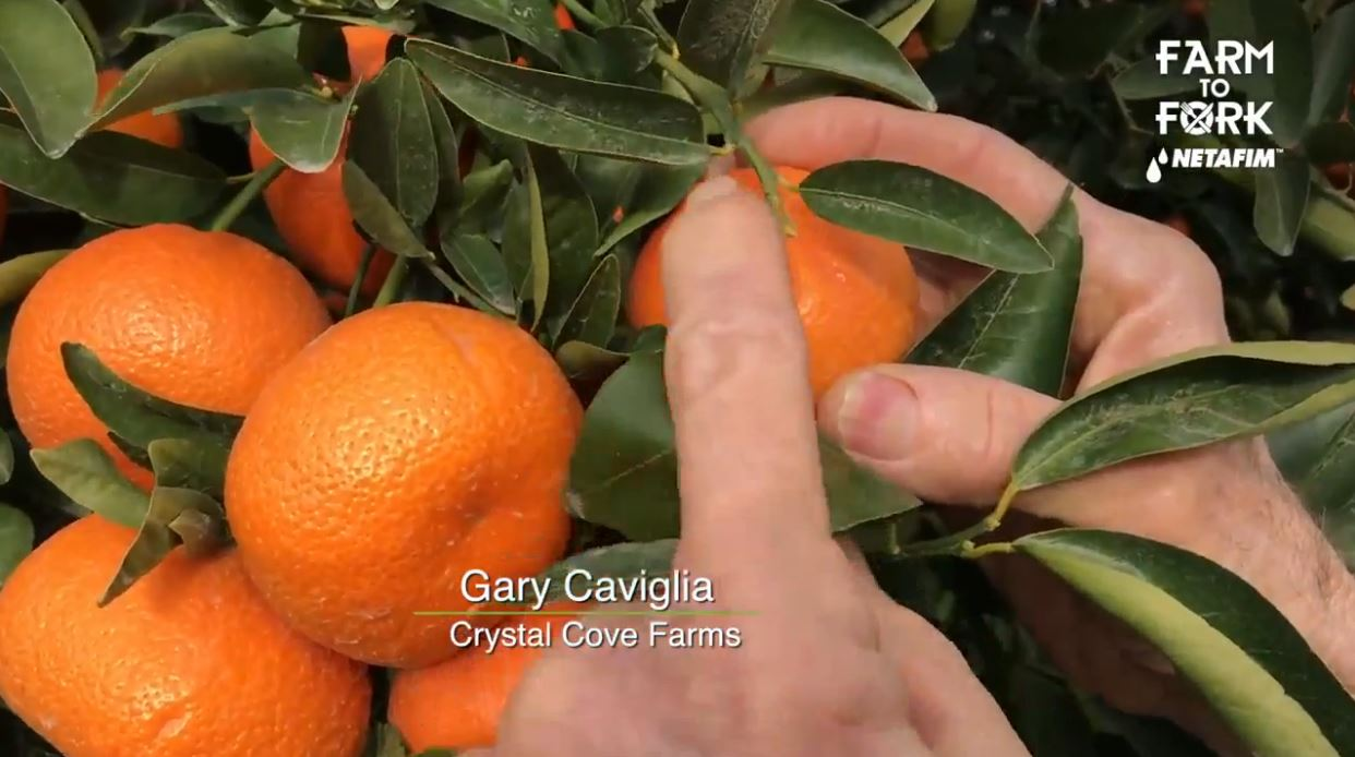 Gary Caviglia with Crystal Cove Farms talks about harvesting Mandarine Oranges<p></p>