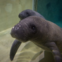 Columbus Zoo and Aquarium wants your help naming their manatee calf