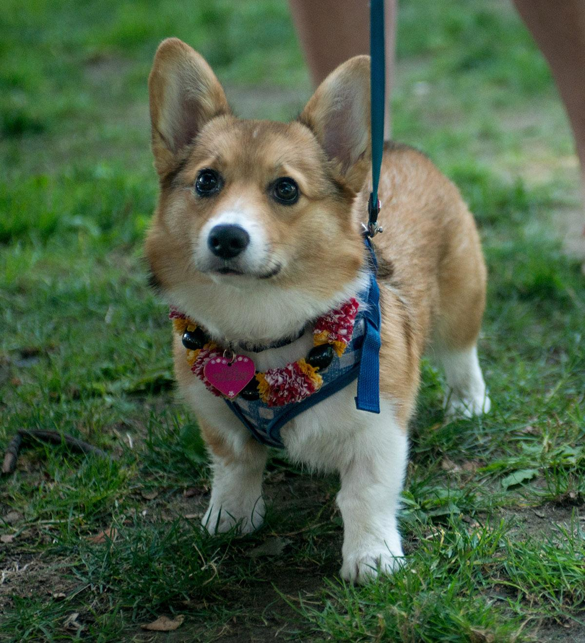 Photos 10th Corgi Walk In The Pearl Supporting Oregon Humane Society Ktvl