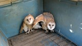 Stowaways of the feathered kind: Owls travel from central Oregon in hay