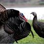 West Virginia turkey hunters kill fewer birds