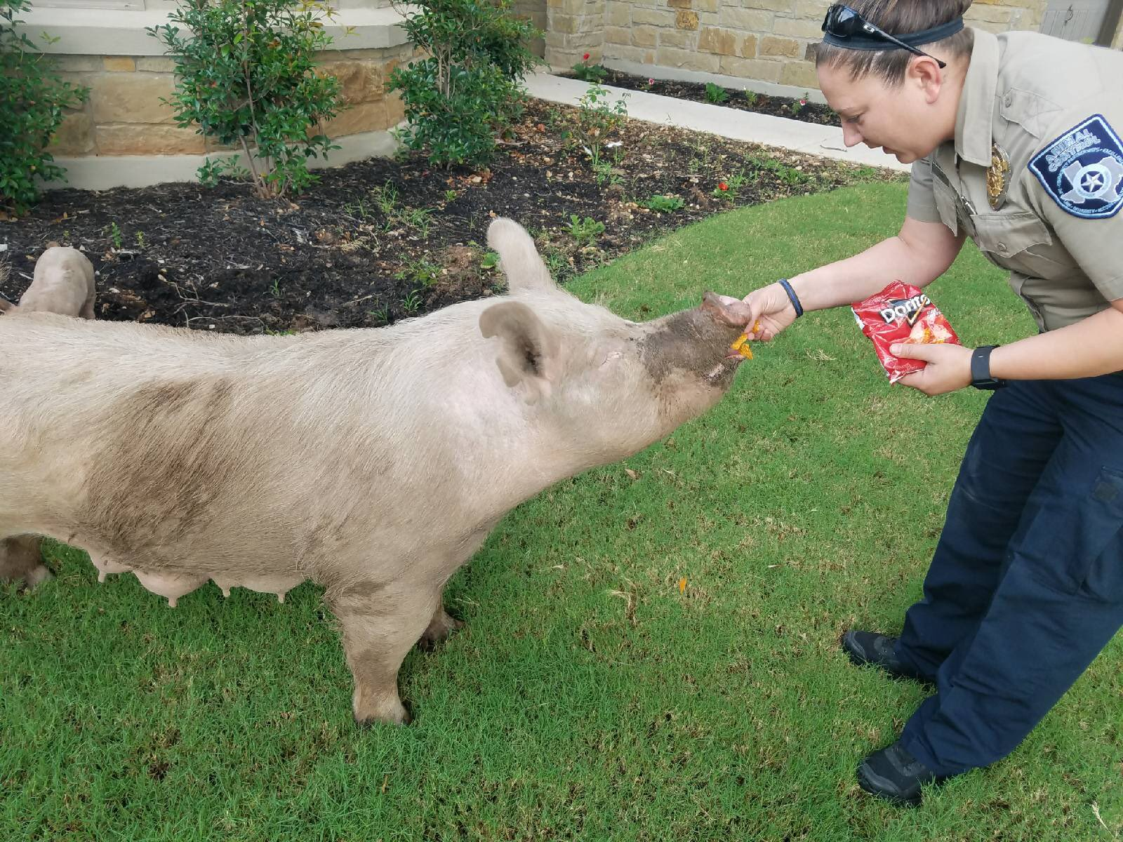 Escaped pigs in Cedar Park were lured out of a backyard using bags of chips. (Photos courtesy: Cedar Park Police)