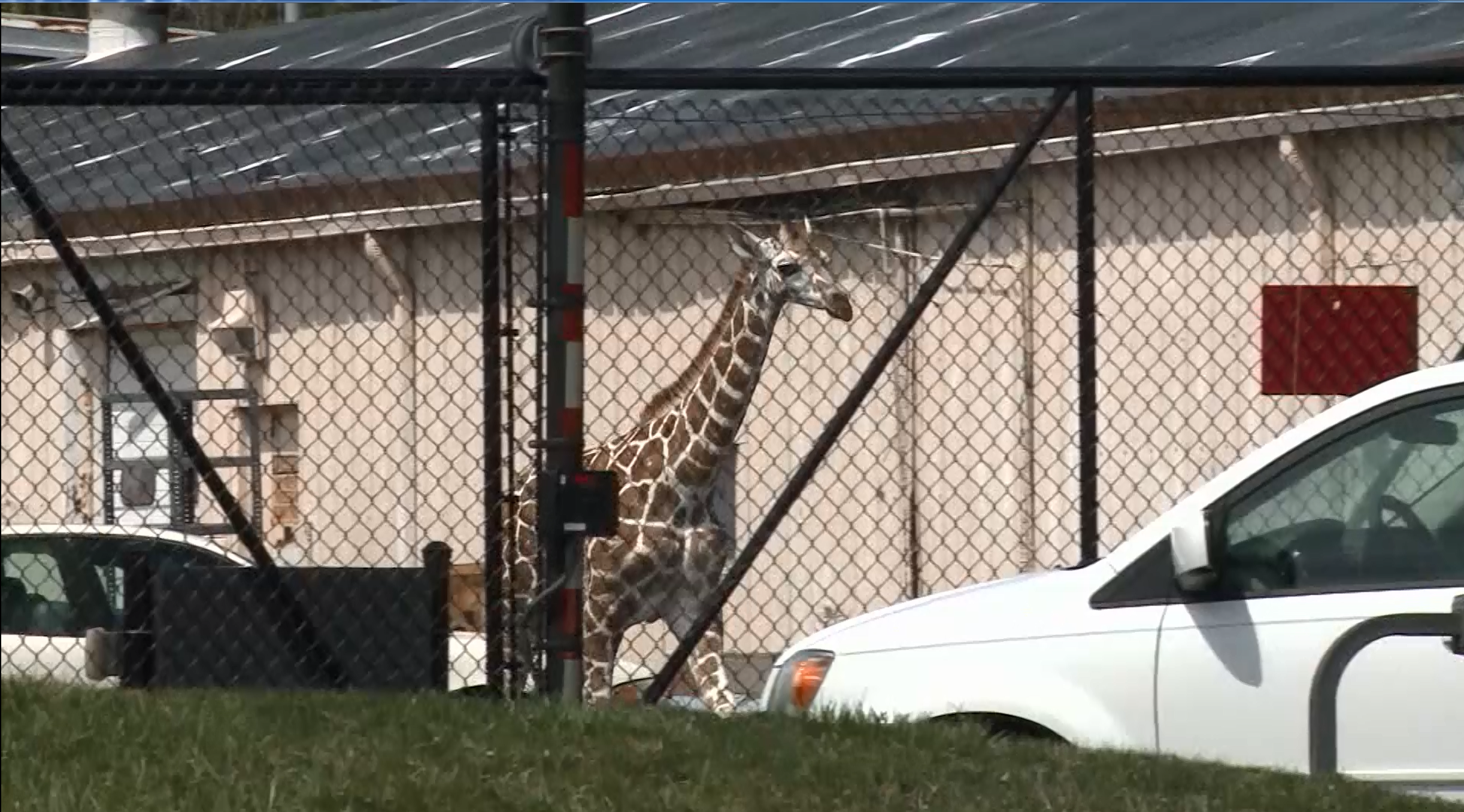 Zookeepers attempt to get 7-month-old giraffe Thabisa back in her cage after an escape at the Fort Wayne Children's Zoo. (CNN Newsource)