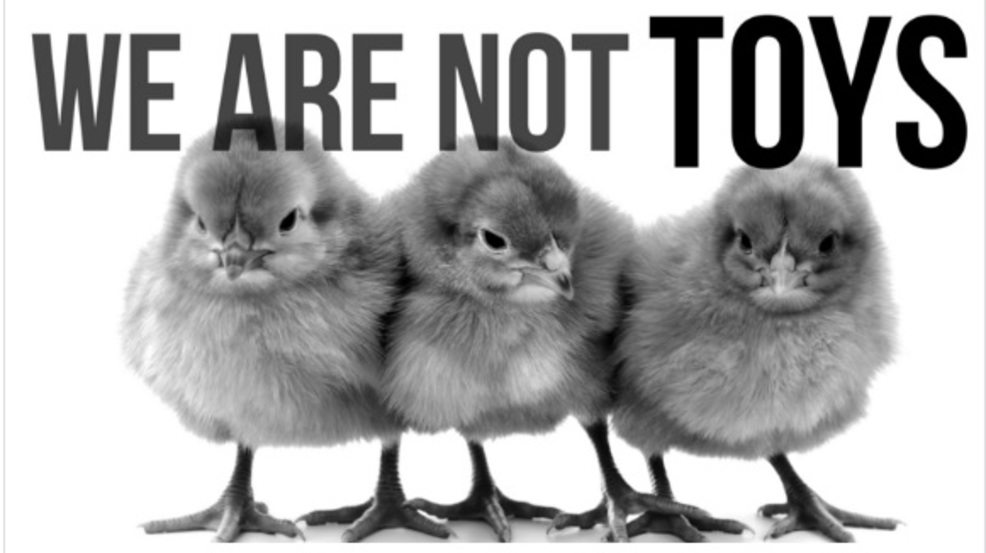 Not just 4 easter animal advocates ask the community not to buy not just 4 easteranimal advocates urge against purchasing bunnies or chicks as gifts negle Choice Image