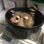Two ringtail babies born at Oregon Zoo