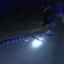 Alligator found run over in Pine Bluff road