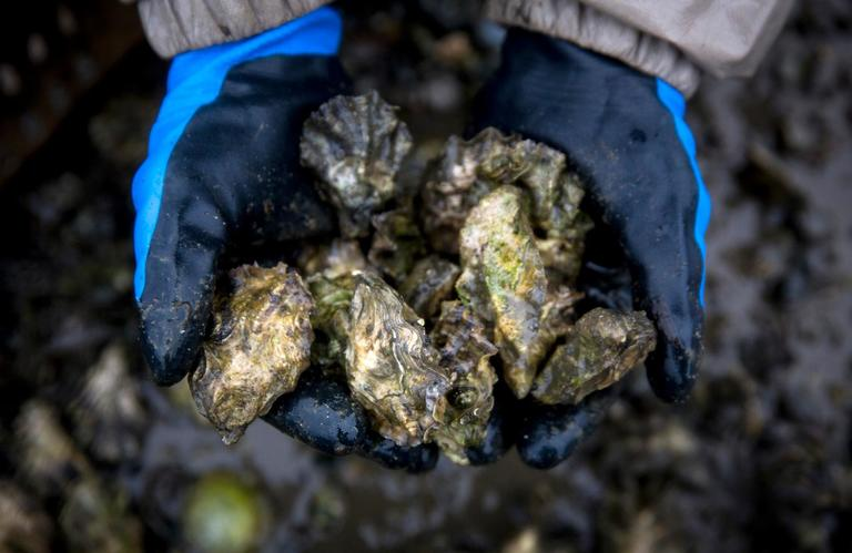 Fresh oysters growing on the beaches of Samish Bay. (Sy Bean / Seattle Refined)